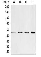 CPA1179-100ul - CD4