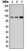 CPA1182-100ul - CD19