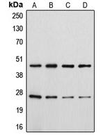 CPA1184-100ul - CD28
