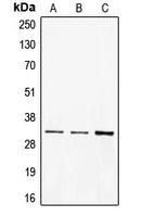CPA1185-100ul - CD40