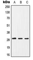 CPA1186-100ul - CD154 / CD40L
