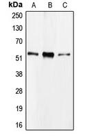 CPA1192-100ul - CDC20