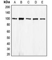 CPA1198-100ul - CD324 / Cadherin-1