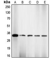 CPA1204-100ul - CDK2