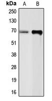 CPA1229-100ul - Chromogranin A