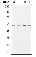 CPA1239-100ul - AP2 complex subunit mu-1 / AP2M1