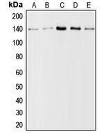 CPA1250-100ul - Collagen type I alpha 2 chain