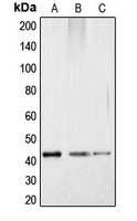 CPA1267-100ul - CREB1