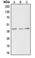 CPA1268-100ul - CREB1