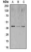 CPA1269-100ul - CREB1
