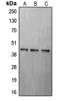CPA1270-100ul - CREB1