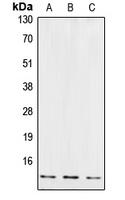 CPA1289-100ul - Cystatin-B