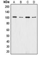 CPA1292-100ul - Catenin alpha 1/2