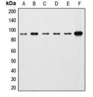 CPA1293-100ul - Catenin beta-1