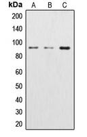CPA1294-100ul - Catenin beta-1