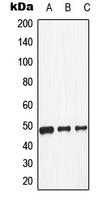 CPA1350-100ul - Dopamine D1 receptor