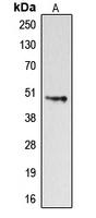 CPA1351-100ul - Dopamine D4 receptor