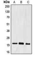 CPA1366-100ul - Ephrin-A2