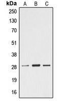 CPA1368-100ul - Ephrin-A4