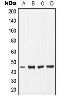CPA1369-100ul - Ephrin-B1