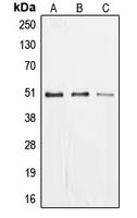 CPA1373-100ul - EGR1