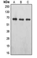 CPA1394-100ul - Erythropoietin receptor