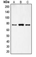 CPA1445-100ul - FSH Receptor