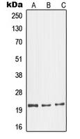 CPA1464-100ul - Glucagon