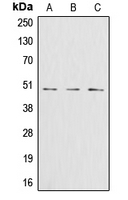 CPA1478-100ul - Glutamine synthetase