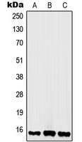 CPA1524-100ul - Histone H2A.x