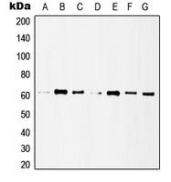 CPA1528-100ul - HDAC1