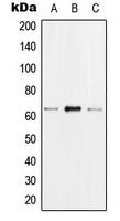 CPA1538-100ul - hnRNP-K / HNRNPK