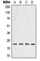 CPA1544-100ul - HOXB7 / HOX2C