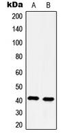 CPA1566-100ul - Serotonin receptor 4 / HTR4