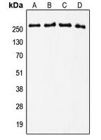 CPA1567-100ul - Tenascin / TNC / HXB