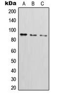 CPA1569-100ul - CD54 / ICAM1