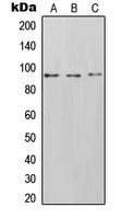 CPA1570-100ul - CD54 / ICAM1
