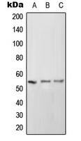 CPA1571-100ul - CD102 / ICAM2