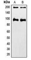 CPA1579-100ul - IGF1 Receptor