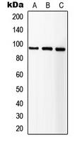 CPA1580-100ul - CD221 / IGF1R