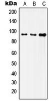 CPA1604-100ul - CD220 / INSR