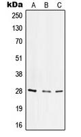 CPA1606-100ul - CD49f / ITGA6