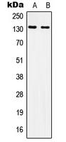 CPA1615-100ul - CD51 / ITGAV