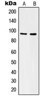CPA1616-100ul - CD51 / ITGAV