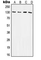 CPA1617-100ul - CD61 / ITGB3