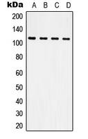 CPA1618-100ul - CD61 / ITGB3