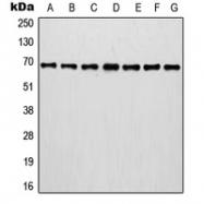 CPA1624-100ul - Involucrin / IVL