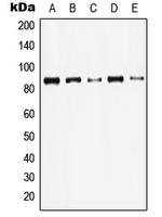 CPA1638-100ul - Junction plakoglobin
