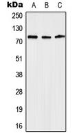 CPA1639-100ul - Anosmin-1