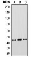 CPA1666-100ul - Cytokeratin 18